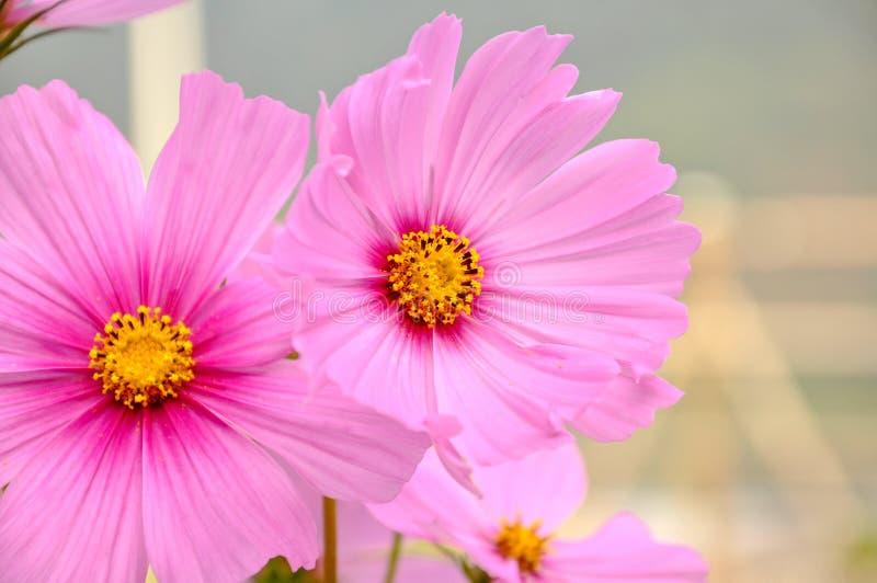 Kosmos bardzo piękny kwiat w ogródzie obrazy royalty free