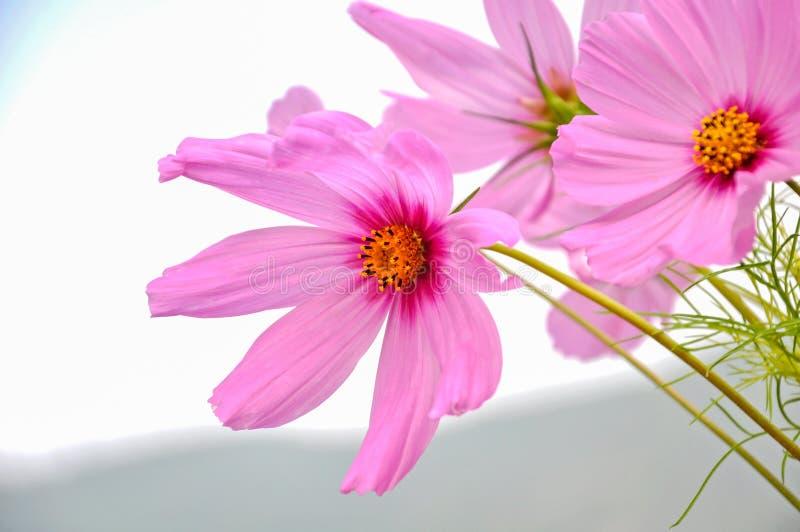 Kosmos bardzo piękny kwiat w wiośnie w menchiach barwi zdjęcia royalty free
