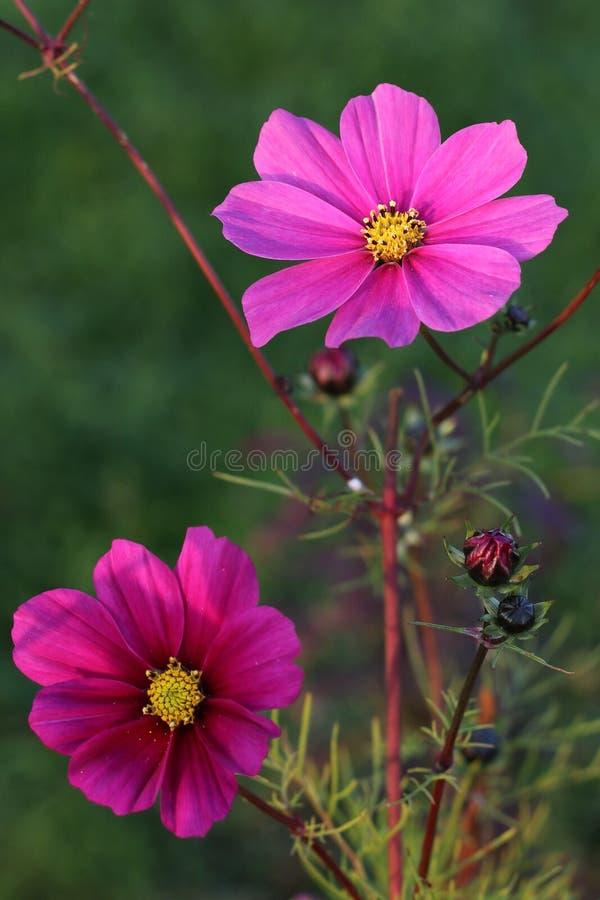 Kosmos bipinnatus - rosa Blume lizenzfreies stockfoto