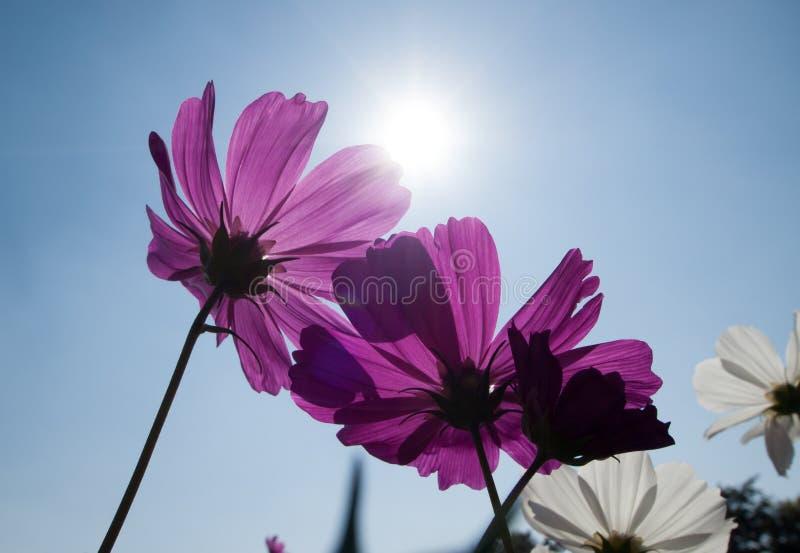 Kosmos blommar, i att blomma med solnedgång arkivfoto