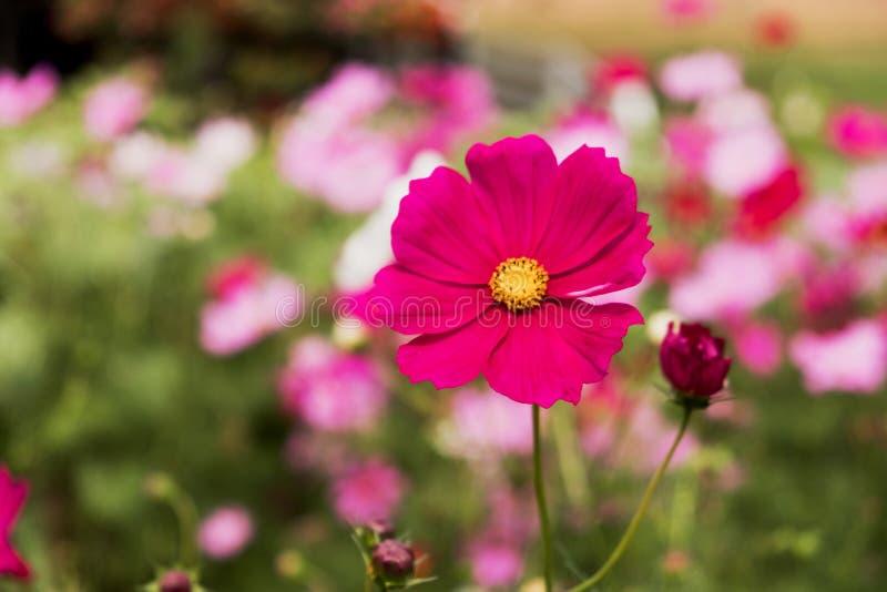 Kosmos blommar i Khao Yai Thailand fotografering för bildbyråer