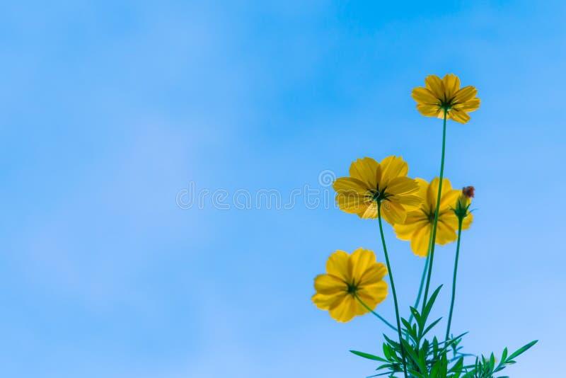 Kosmos blommar mot den ljusa blåa himlen arkivbilder