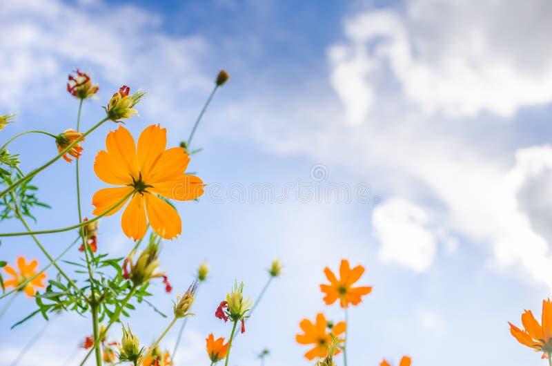 kosmos blommar yellow arkivfoton