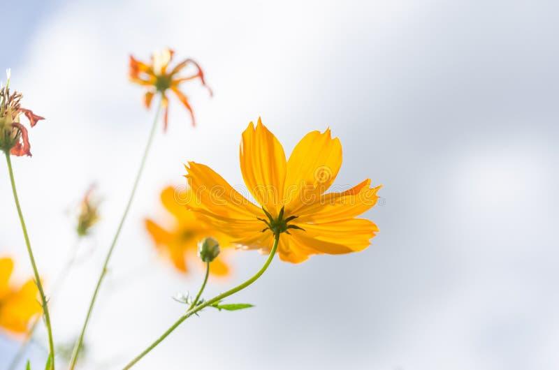 kosmos blommar yellow royaltyfri fotografi