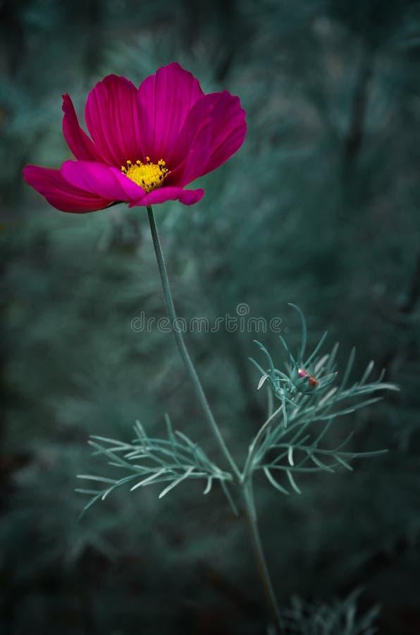 Kosmos-Blume lizenzfreie stockfotos
