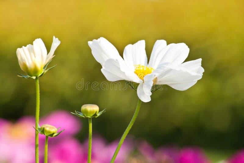 Kosmos-Blumen stockfotos
