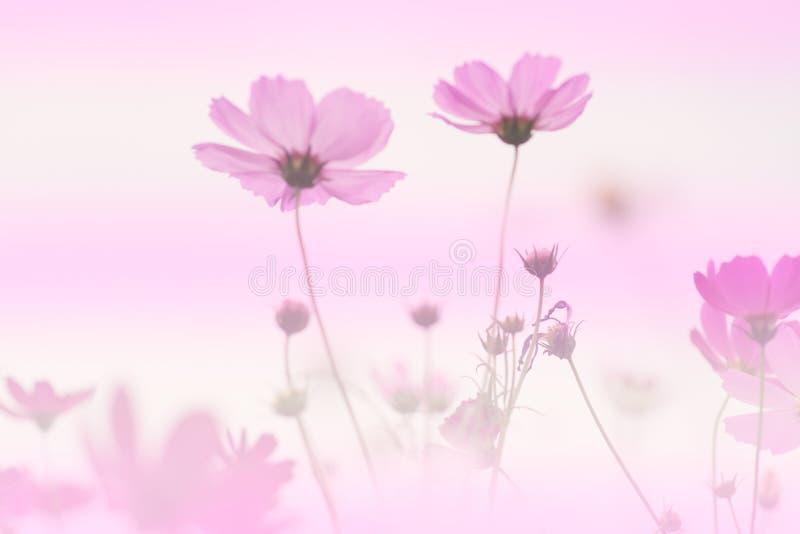 Kosmos-Blumen-Hintergrund lizenzfreies stockbild