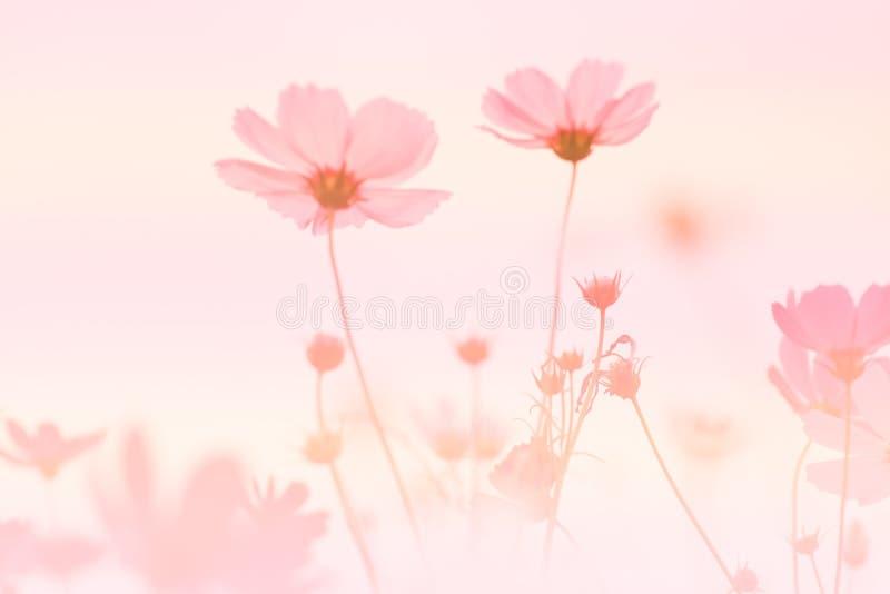 Kosmos-Blumen-Hintergrund stockbild
