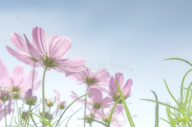 kosmos field pink fotografering för bildbyråer