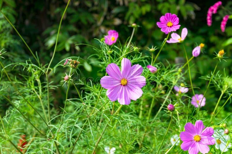 Kosmos kwitnie na flowerbed fotografia stock