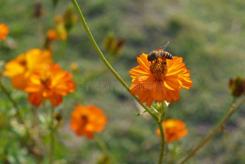 Kosmos und eine Honigbiene lizenzfreie stockfotografie