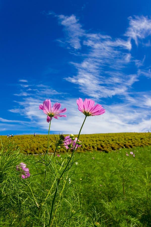 Kosmosbipinnatus och Kochiafält med härlig himmel i Ibaraki, Japan royaltyfri fotografi