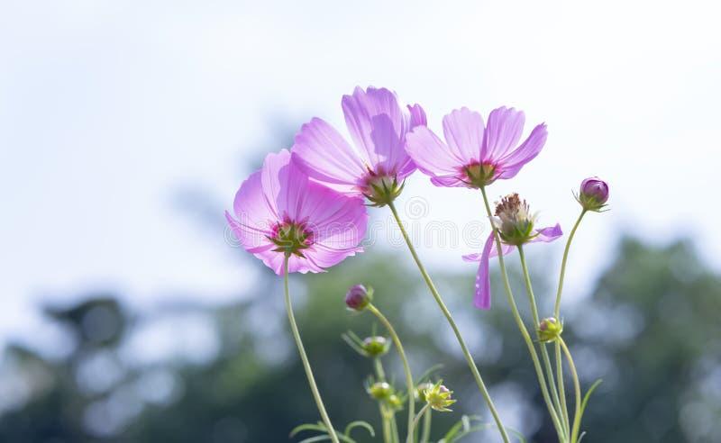 Kosmosbipinnatusblommor skiner i blommaträdgården royaltyfria foton