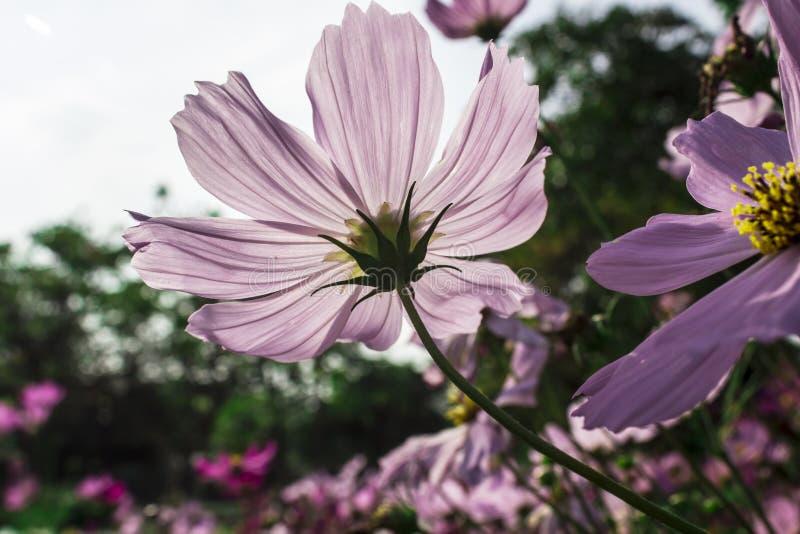 Kosmosbloemen in het bloeien met zonsondergang royalty-vrije stock afbeelding