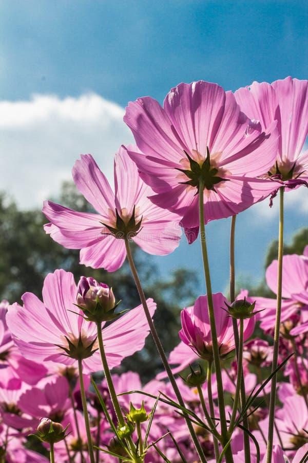 Kosmosbloemen in het bloeien met zonsondergang stock afbeelding