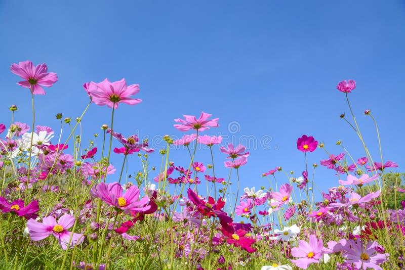 Kosmosbloemen met de blauwe hemel stock fotografie