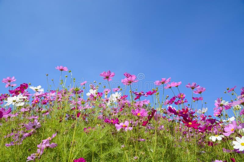 Kosmosbloemen met de blauwe hemel royalty-vrije stock afbeeldingen