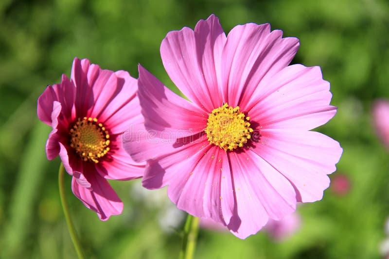 Kosmosbloemen voor achtergrond royalty-vrije stock foto's