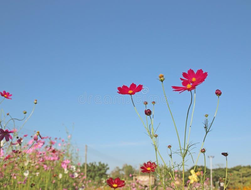 Kosmosblommor som blommar i himmelbakgrunden royaltyfria foton