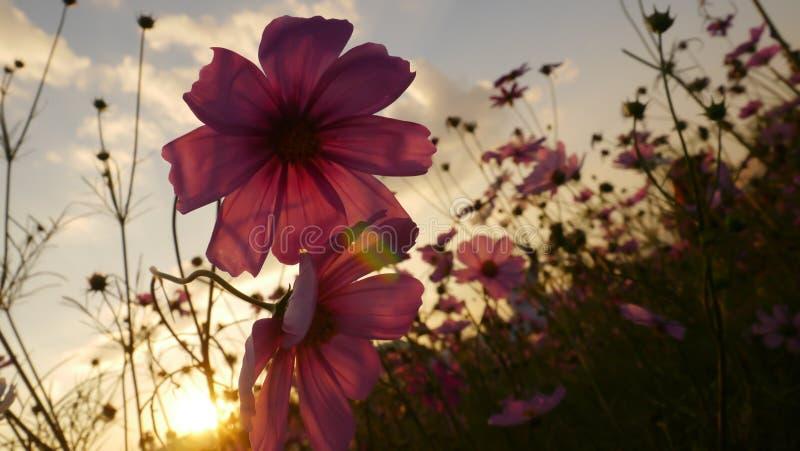 Kosmosblume mit Sonne, Aufflackern und Himmel stockfotografie