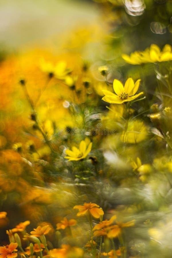 Kosmosblumen mit bokeh stockbild