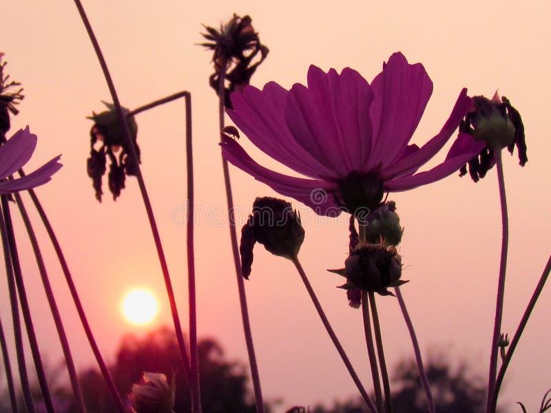Kosmosblumen mit den Farben des Sonnenunterganghintergrundes stockfotos