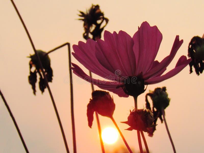 Kosmosblumen mit goldenem Licht des Sonnenunterganghintergrundes stockbild