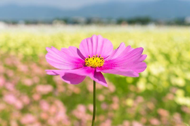 Download Kosmosfält arkivfoto. Bild av blommor, natur, yellow - 27287538