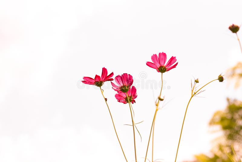 Kosmossepiablommor med damen buggar hållande på blomman som blommar w royaltyfria bilder
