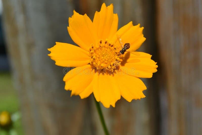 Kosmosu kwiat obraz stock