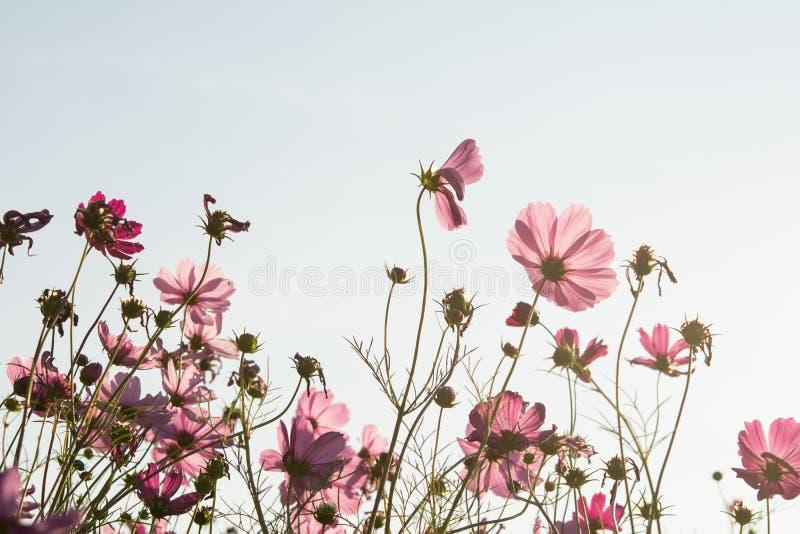 Kosmosu kwiat w polu na białym tle zdjęcie stock
