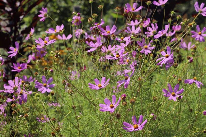 Kosmosu kwiat - wysoki różowy lato kwitnie kwiatu spojrzenie jak stokrotka zdjęcie stock