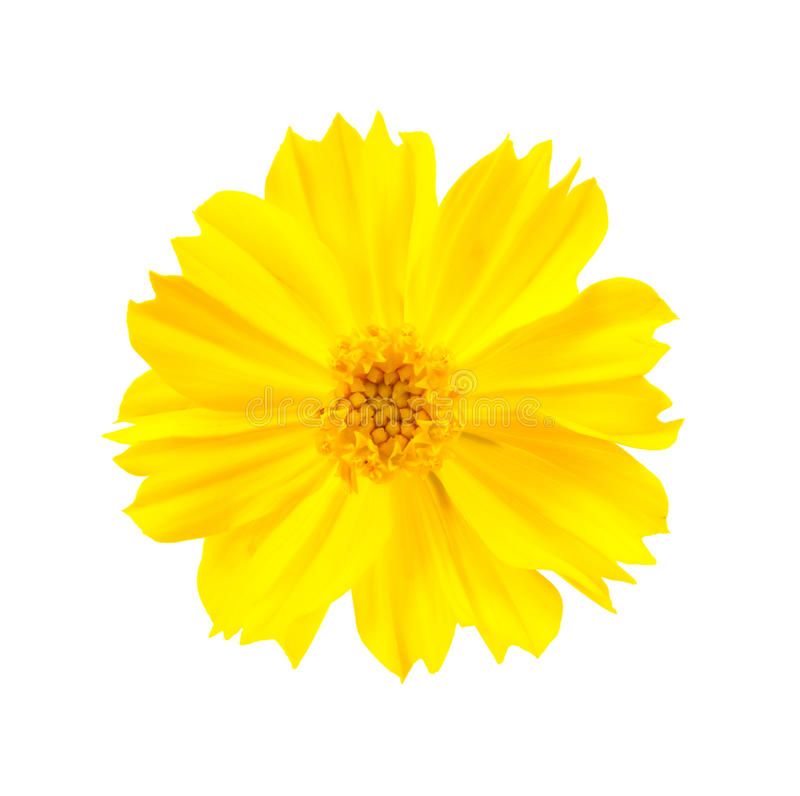 kosmosu kwiatu kolor żółty obraz royalty free