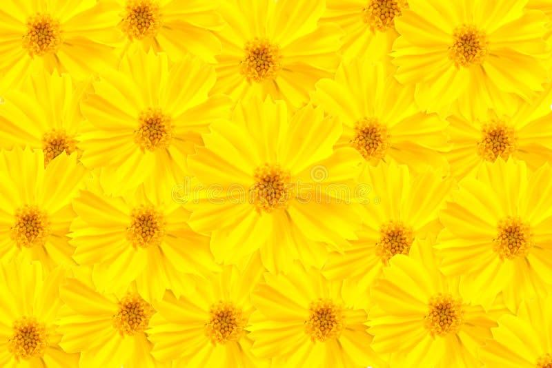 kosmosu kwiatu kolor żółty obrazy royalty free