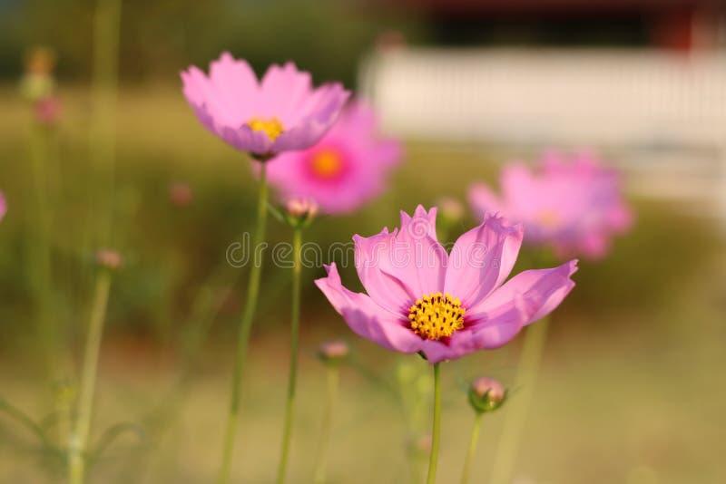 Kosmosu kwiatu pole zdjęcie royalty free