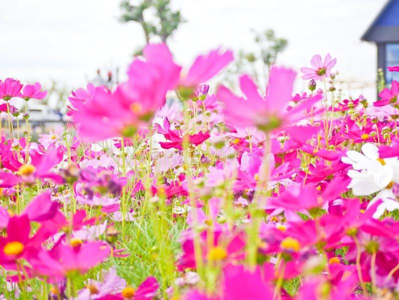 Kosmosu kwiatu pole miejsce turystyczna miłość odwiedzać obraz stock