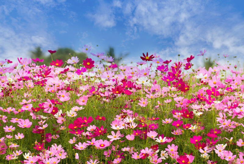 Kosmosu kwiatu pole na niebieskiego nieba tle, wiosna sezon kwitnie obraz royalty free