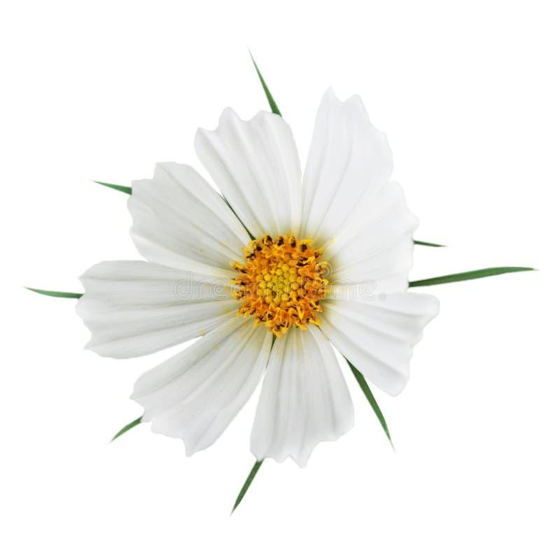 Kosmosu sonatowy kwiat obrazy royalty free