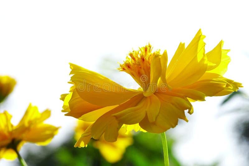 Kosmosu sulphureus kwiat zdjęcia stock
