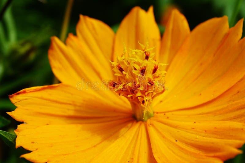 Kosmosu sulphureus kwiat fotografia stock