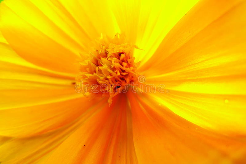 Kosmosu sulphureus kwiat obraz royalty free