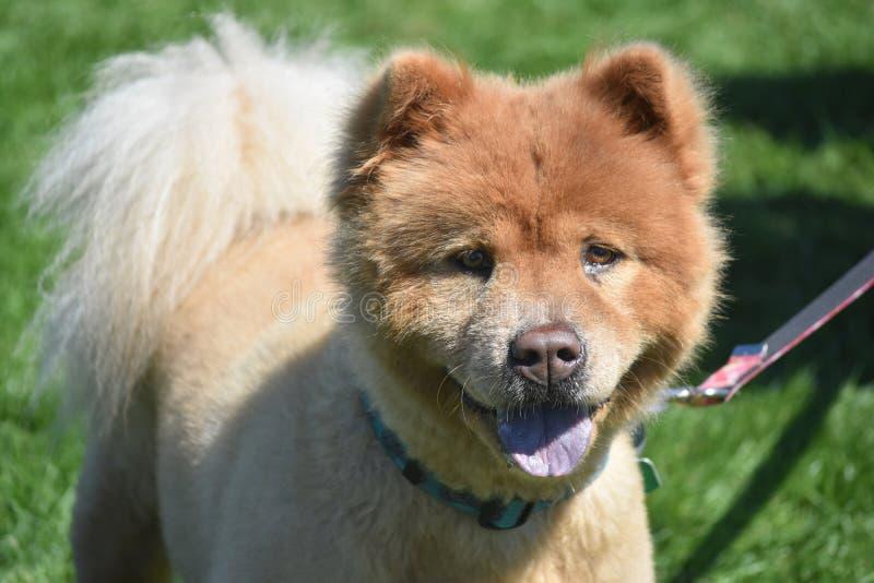 Kostbaar Weinig Chow Puppy Ready voor Dutje stock foto