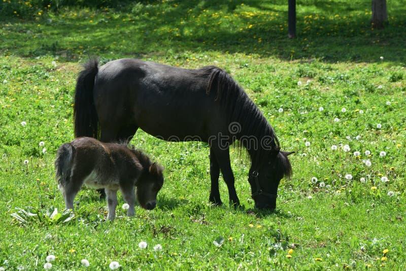 Kostbaar Zwart Mini Mare Horse met het is Baby op een Gebied stock foto