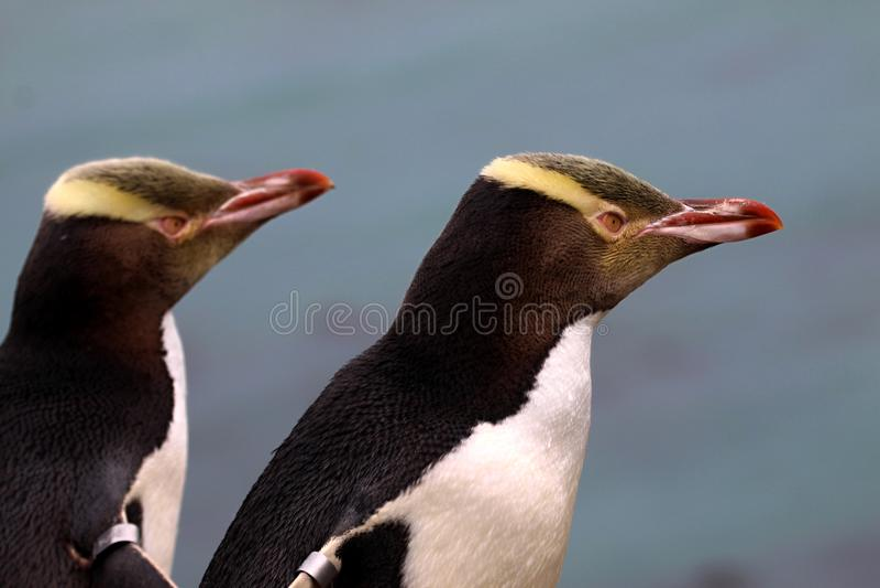 Kostbaarste pinguïn die, geel-Eyed pinguïn, Megadyptes-antipodes, Nieuw Zeeland leven stock fotografie