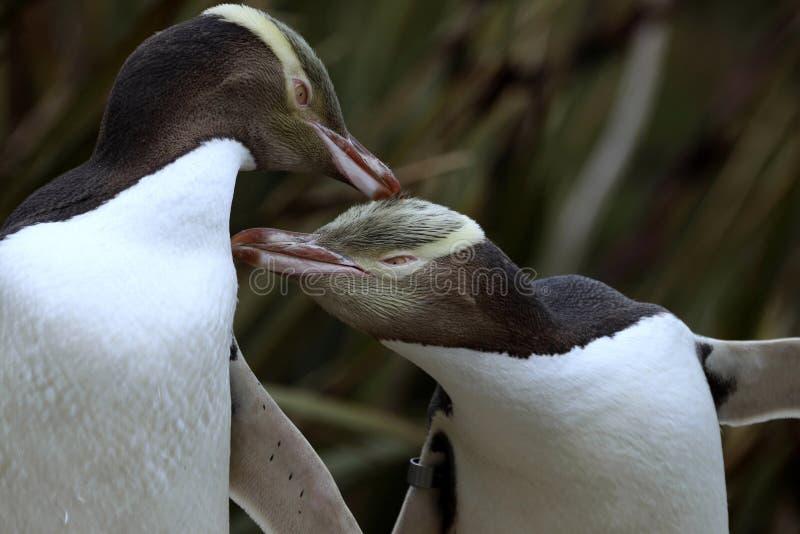 Kostbaarste pinguïn die, geel-Eyed pinguïn, Megadyptes-antipodes, Nieuw Zeeland leven royalty-vrije stock afbeeldingen