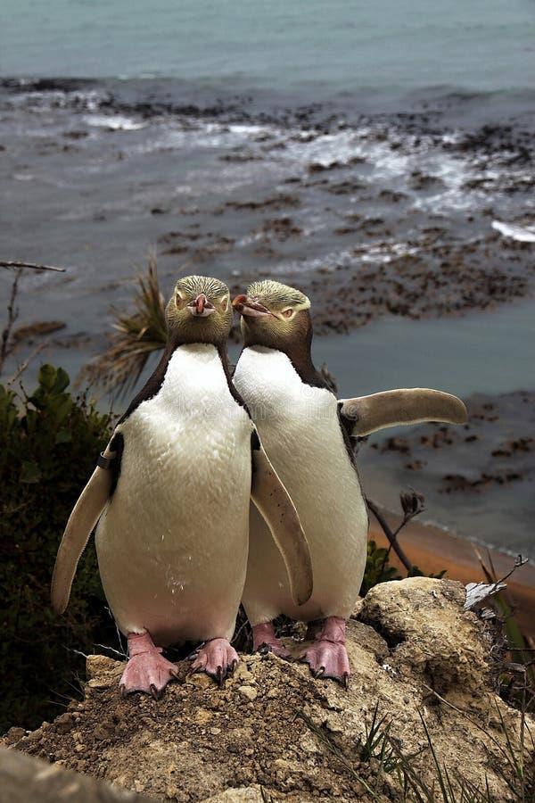 Kostbaarste pinguïn die, geel-Eyed pinguïn, Megadyptes-antipodes, Nieuw Zeeland leven stock foto's