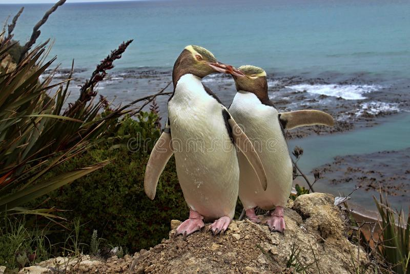 Kostbaarste pinguïn die, geel-Eyed pinguïn, Megadyptes-antipodes, Nieuw Zeeland leven stock foto