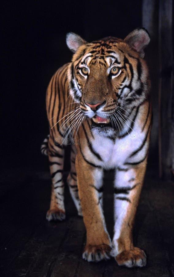 kostbaarste tijger, amoyensis tijgerpanthera Tigris van de Zuid- van China royalty-vrije stock afbeelding
