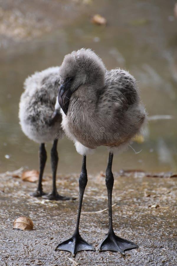 Kostbare babyflamingo's rond een watergeheel royalty-vrije stock fotografie