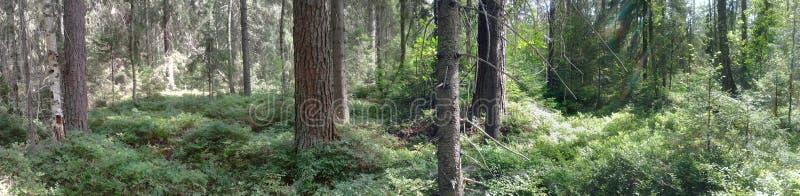 Kostromskoy Lasowi drzewa obrazy royalty free